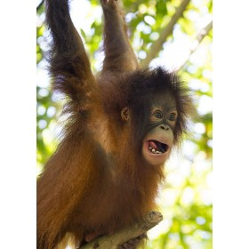 Hanging around - Bornean Orangutan playing