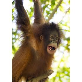 Hanging around - Bornean Orangutan playing