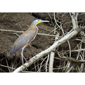 Riverside perch - Bare-throated Tiger Heron