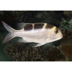 Bigeye Emperor hovering under a reef ledge