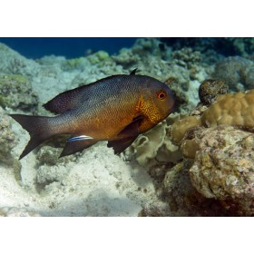 Cleaner Wrasse attending a Black and White Snapper