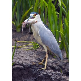 Black-crowned Night Heron with a catfish