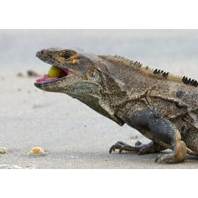 Black Ctenosaur Feeding on the Beach