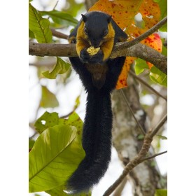 Black Giant Squirrel - breakfast in the rainforest