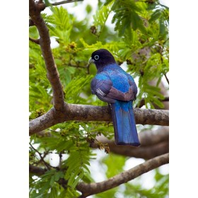 Trogon perched on an Acacia