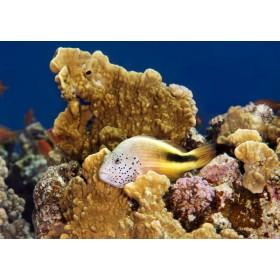 Blackside Hawkfish perched in a coral nook