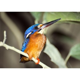 Kingfisher Photos - Blue-eared Kingfisher by a river in Borneo