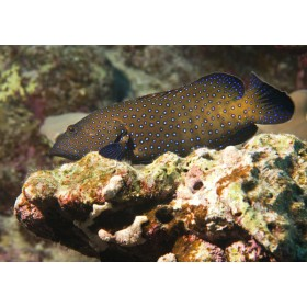Bluespotted Grouper perched on a reef ledge