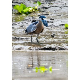 Boat-billed Heron fishing on a muddy shoreline