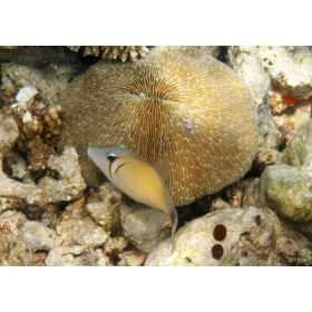 Boomerang Triggerfish timidly hiding by a plate coral