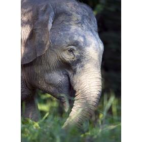 Borneo Elephant grazing in the rainforest
