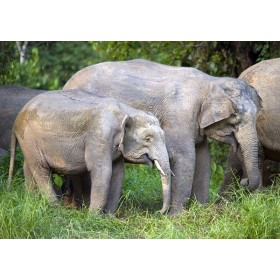 Borneo Elephant calf on a rainforest riverbank