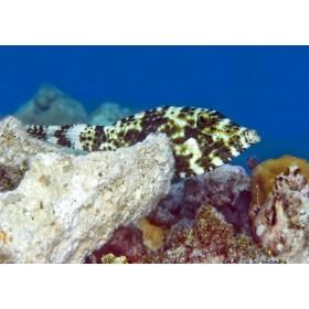 Broomtail Filefish playing peek-a-boo
