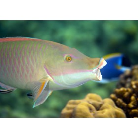 Candelamoa Parrotfish at a cleaning station - Open Wide!