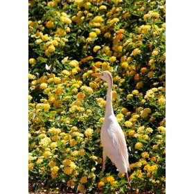 Cattle Egret on a Butterfly Hunt