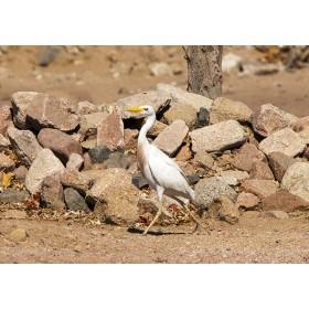 Cattle Egret striding along a Desert Trail