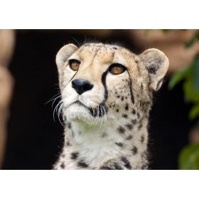 Meerkat or Cheetah?