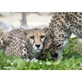 Affectionate Cheetah greeting its sibling