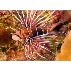 Clearfin Lionfish Close-up
