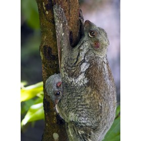 Colugo baby peeping out from its mothers pouch