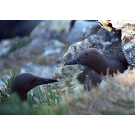 Guillemots residing on a cliff face, incubating their egg