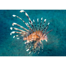 Ethereal Lionfish floating gracefully in crystal waters