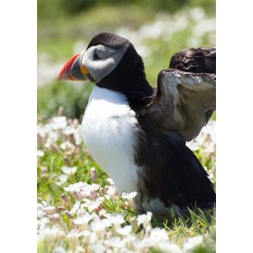 Puffin basking in Sea Campion