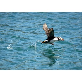 Take-off ! Puffin running over rippling seawater