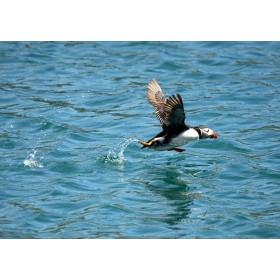 Take-off ! Puffin taking off on rippling seawater
