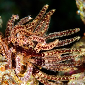 Klunzinger's Feather Star wafting in a gentle current