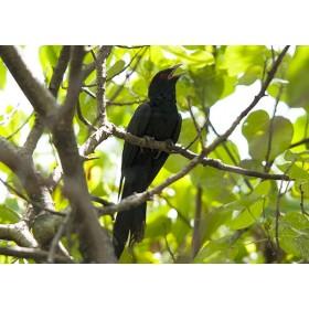 Singing Cuckoo - Asian Koel