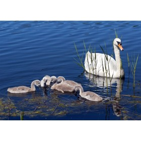 Mute Swan - Quintet of cygnets