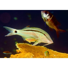 Dash & Dot Goatfish vibrantly contrasting the deep blue sea