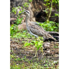 Double-striped thick-knee wandering through a tropical dry forest