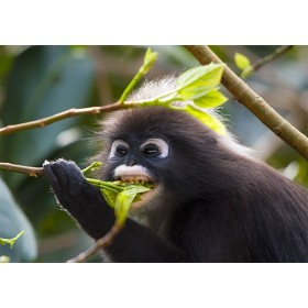 Dusky Leaf Monkey feeding on a Sea Bean Tree
