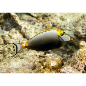 Elegant Unicornfish darting over the rocky shallows