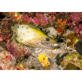 Fimbriated Moray in a colourful reef garden