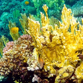 Fire coral - castle of gold rising from a reef outcrop