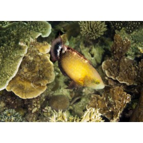 Floral Wrasse - a flower within a coral garden