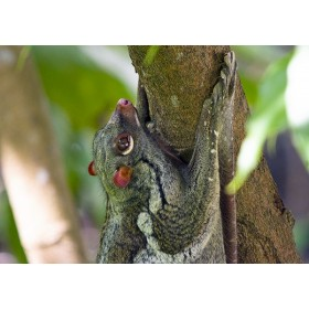 Flying Lemur in the ancient rainforest of Malaysia