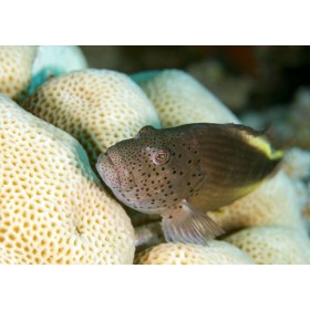 Freckled Hawkfish lurking in honeycomb corals