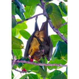 Giant Fruit Bat cleaning her pup in a Banyan Fig Tree