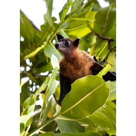 Fruit Bat peeping out from the foliage