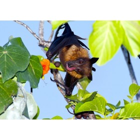 Fruit Bat sipping nectar from a Sea Trumpet flower