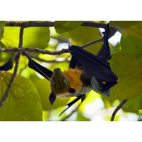 Megabat searching for food in a Maldives Fig Tree