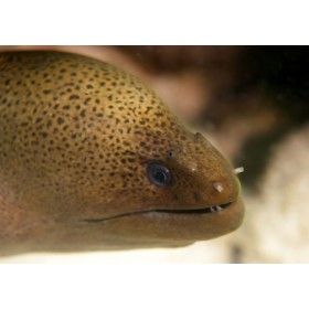 Juvenile Moray - Close-up of a young Giant Moray