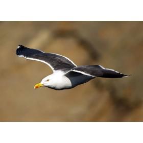 Great Black-backed Gull in flight soaring along cliffs