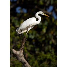 Large Egret (Great Egret) in the Borneo Rainforest