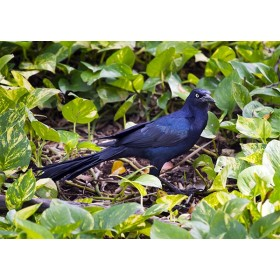 Great-tailed Grackle foraging amongst trailing vines