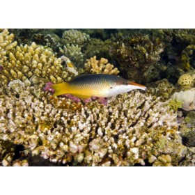 Green Birdmouth Wrasse hovering over a table coral